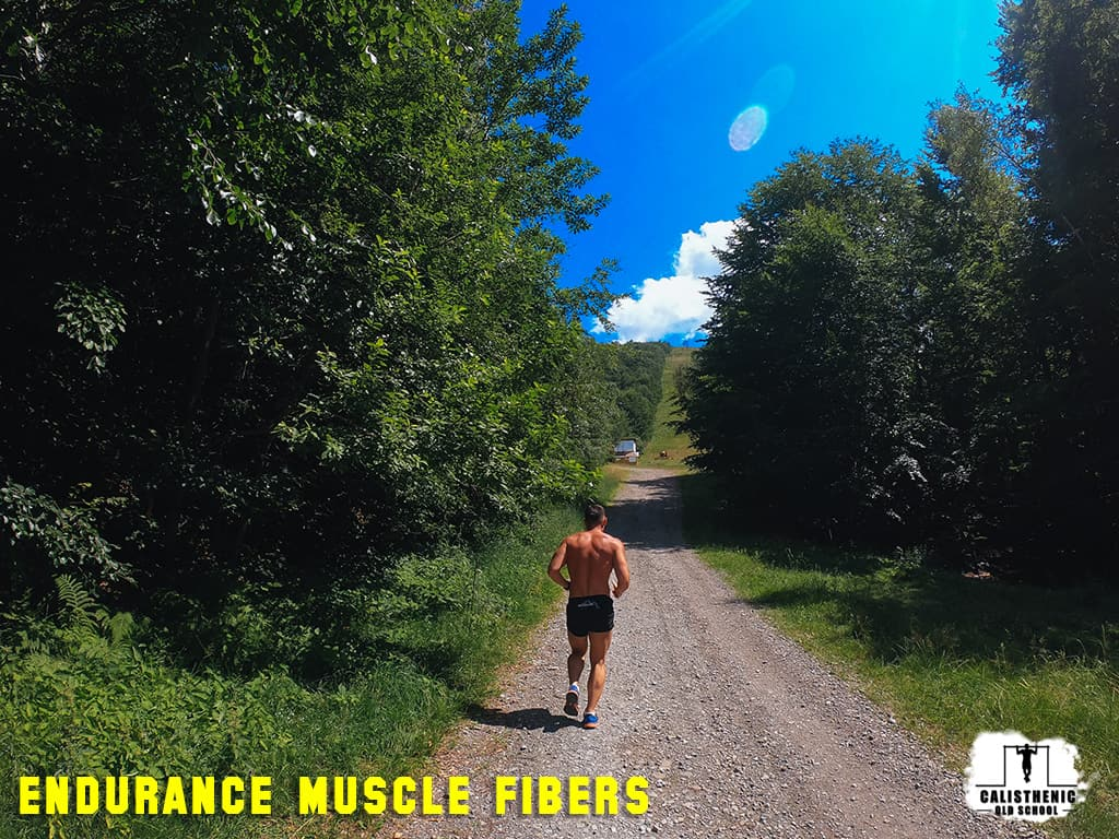 endurance muscle fibers